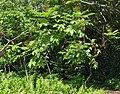 Rhus sandwicensis (5209501863).jpg