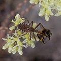 Rhynocoris erythropus-Apis mellifera-20160712 2.jpg