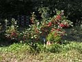 Ribes rubrum20140713 115.jpg