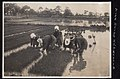 Rice Fields - Rice Being Replanted in Japan (1914 by Elstner Hilton).jpg