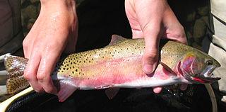Rio Grande cutthroat trout subspecies of fish