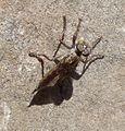 Robber fly. Asilidae.( Eutolmus rufibarbis^) - Flickr - gailhampshire.jpg