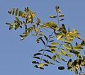 Robinia pseudoacacia - black locust - Robinie - robinier faux-acacia 08.jpg