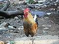 Rooster (318360021).jpg