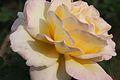 Rosa 'Garden Party'.jpg