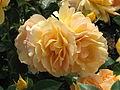 Rosa 'Hansestadt Rostock' 02.JPG