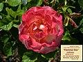 """Rosa """"Flaming Star"""" o KORtaltal. 02.jpg"""