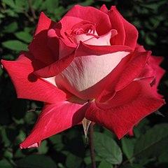 Rosa Love01.jpg