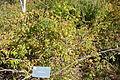 Rosa henryi - Quarryhill Botanical Garden - DSC03241.JPG