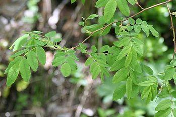 Rosa pendulina 01062005.JPG