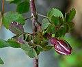 Rosa pinetorum 2.jpg