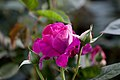 Rose, Intrigue - Flickr - nekonomania (5).jpg