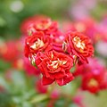 Rose, Trinity, バラ, トリニティ, (12846514535).jpg