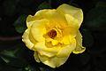 Rose - Kolkata 2010-11-06 7832.JPG