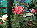Rose from Lalbagh flower show Aug 2013 8565.JPG