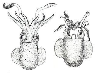 Rossia genus of molluscs