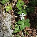 Rubus pedatus s3.jpg