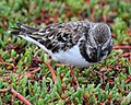 Ruddy Turnstone (4885193638).jpg
