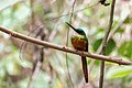 Rufous-tailed Jacamar - Tucuso Barranquero (Galbula ruficauda) (12667845545).jpg