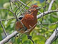 Rufous-tailed Plantcutter RWD.jpg