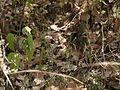 Rungia pectinata (6425549443).jpg