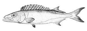 Gempylidae - Oilfish, Ruvettus pretiosus