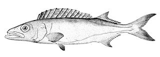 Gempylidae family of fishes