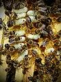 SAR CE Apis mellifera carnica varroas.jpg