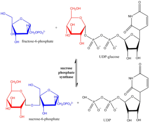 Sucrose-phosphate synthase - Reaction scheme showing hexosyl group transfer from UDP-glucose to fructose 6-phosphate.