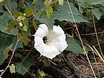 Sacred Datura ( Thornapple- nightshade family) (43071084734).jpg