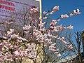 Saint Petersburg. Chinese Garden. Sakura tree2014 14.jpg