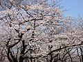 Sakura in Yoyogi Park Tokyo 20170403.jpg