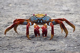 Un crabe Grapsus grapsus photographié aux îles Galápagos. (définition réelle 3712×2475)
