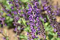 Salvia nemorosa Mainacht 2zz.jpg