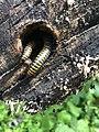 San Sebastián, worms in a rotting tree, June 2018.jpeg