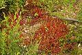 Sandgruben-Föhrenbuck-NSG-00407.01-WDPA-165316-Sonnentau-Drosera-rotundifolia-3432.jpg