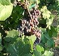 Sangiovese grapes.jpg
