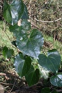 Sarcopetalum harveyanum Eastwood2.JPG