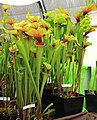 Sarracenia oreophila Exhibition of Carnivorous Plants Prague 2015 2.jpg