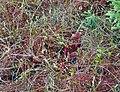 Sarracenia purpurea (5723877781).jpg