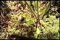 Sarracenia purpurea 3-eheep (5097346485).jpg