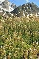 Saxifraga geranioides.JPG