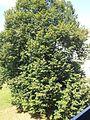 Schöner Baum - panoramio.jpg