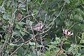 Schiermonnikoog - Grasmus (Curruca communis).jpg