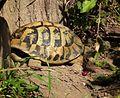 Schlafende Griechische Landschildkröte Leintalzoo 2013.JPG