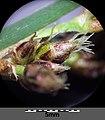 Schoenoplectus tabernaemontani sl18.jpg