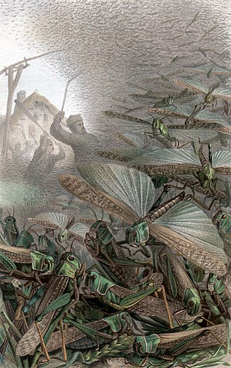 Swarm behaviour - A 19th century depiction of a swarm of desert locusts