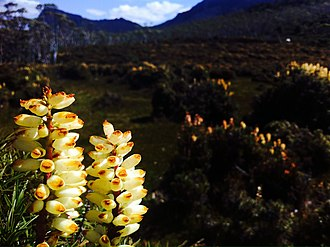 Overland Track - Scorparia is a common plant that lines the trail