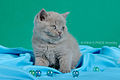 Scottish fold- straight 12.JPG