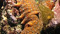 Sea Cucumber (7622463718).jpg